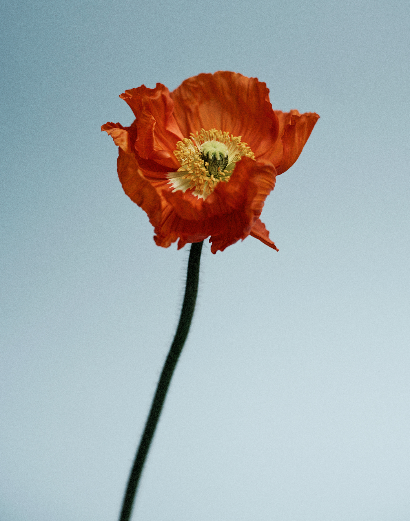 colour photograph of a poppy