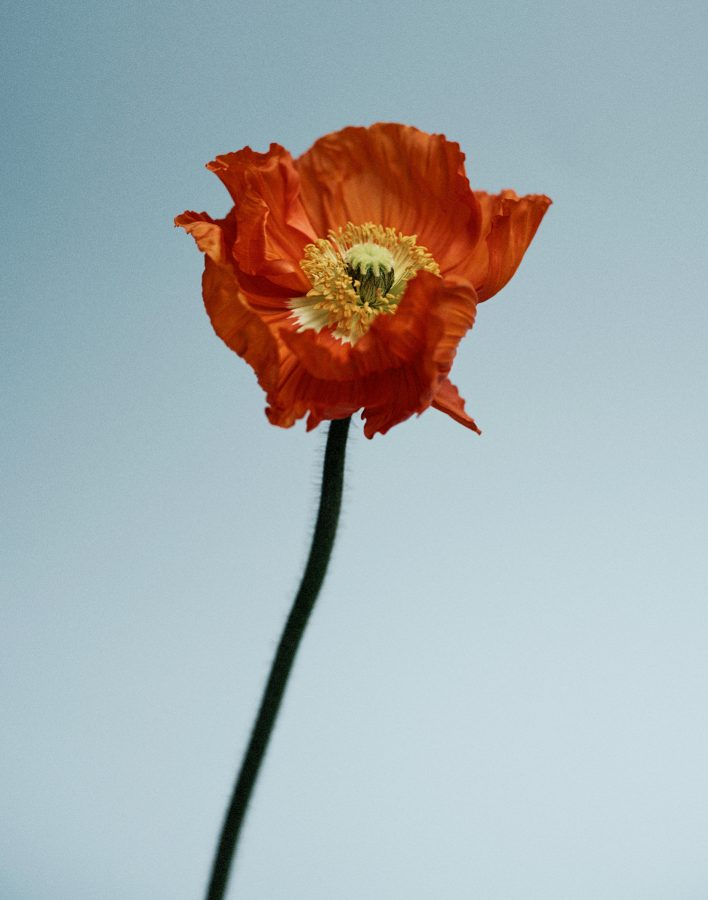 colour photograph of a poppy