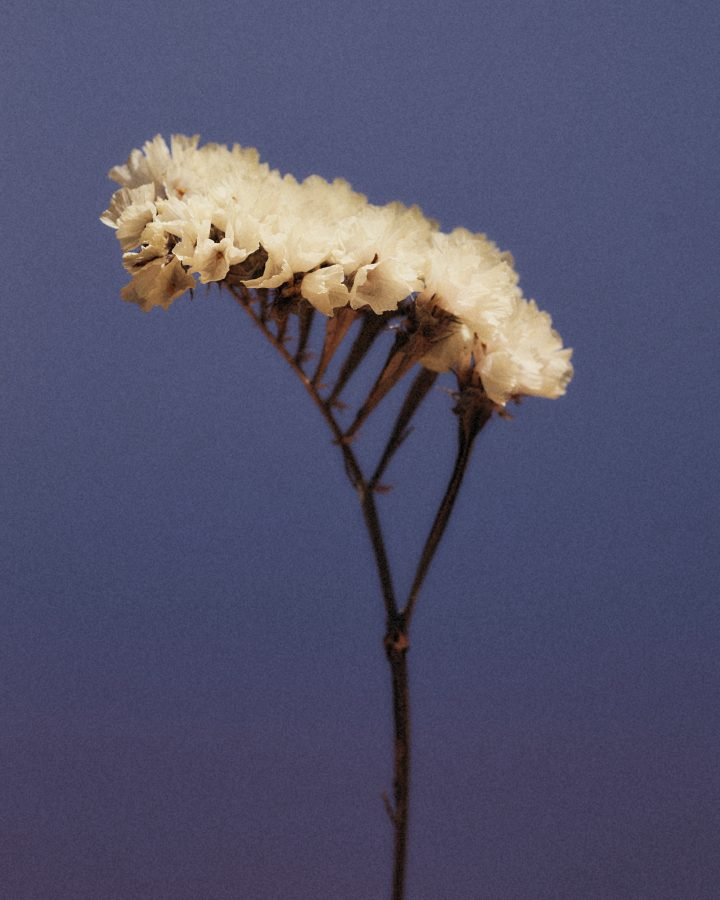 Colour photograph of yellow dried flowers